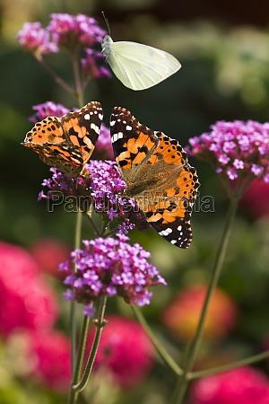 painted ladies butterflies on verbena flowers