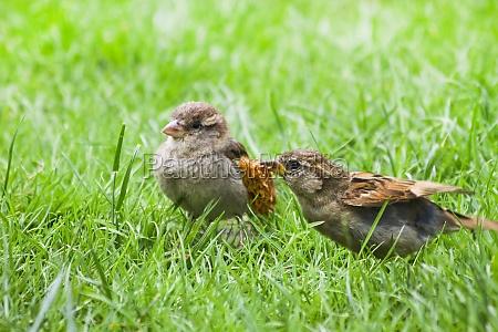 female adult house sparrow feeding fly