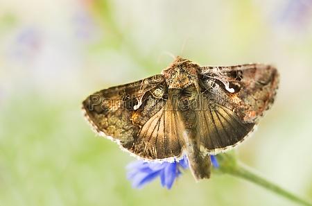 migratory moth silver y or autographa