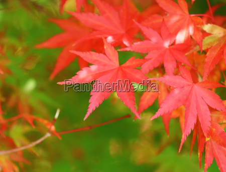red maple leave