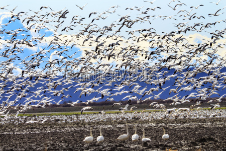 lift off hunderds of snow geese
