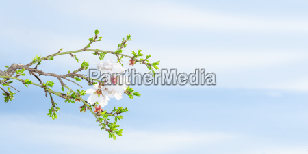 spring blossom apricot tree against blue