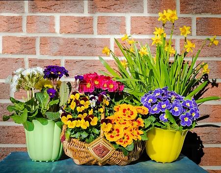 primroses violas and daffodils
