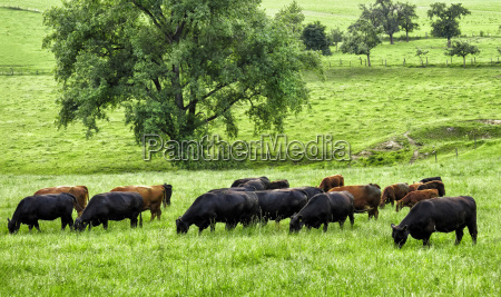 grazing cows on idyllic meadow