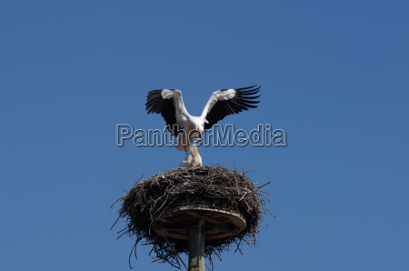white stork pair in mating prelude