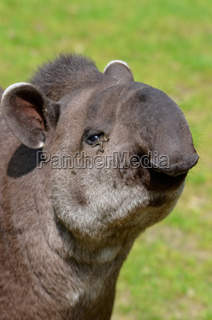 portrait of south american tapir
