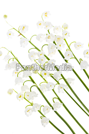 lily of the valley flowers on