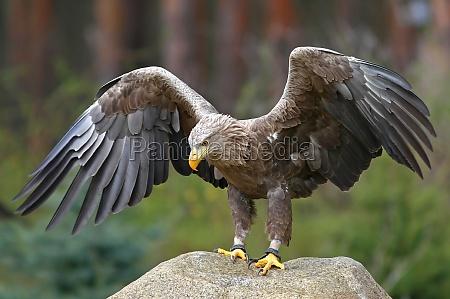 the sea eagle haliaeetus albicilla