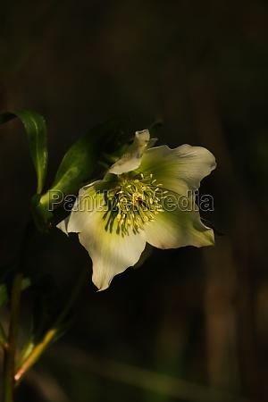 snow rose helleborus niger