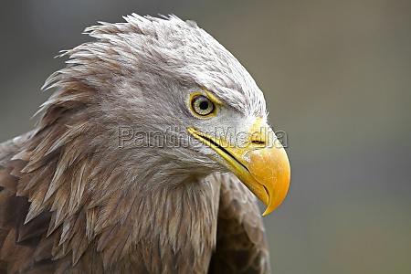sea eagle bird of prey