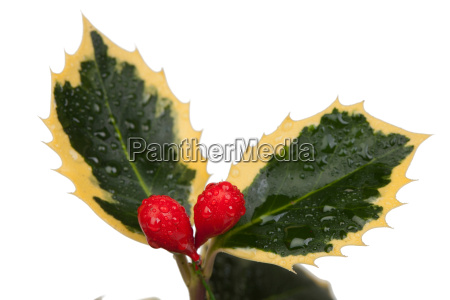 beautiful plant with red berries