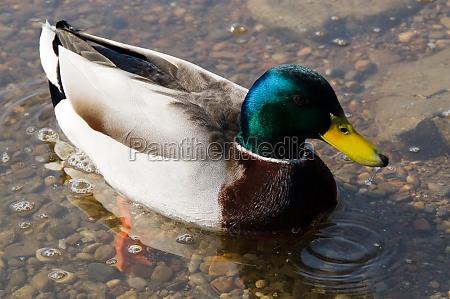 duck close bird clean lake pond