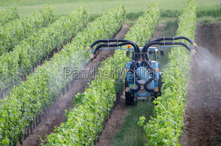 spraying of grapevines in vineyard in