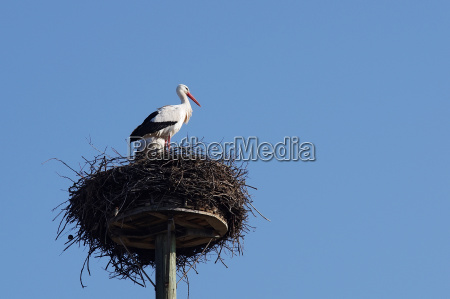 white stork pair in their horst