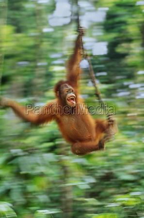 orangutan pongo pygmaeus swinging from liana