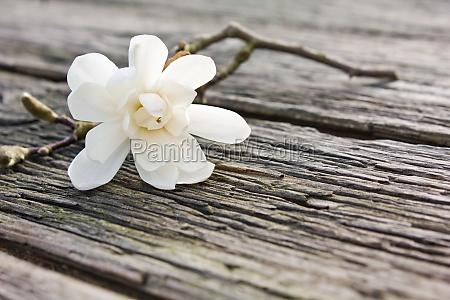 magnolia blossom twig wood board flowers