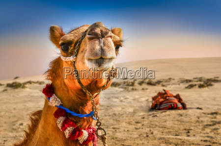 detail of camels head with funny