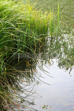 reeds on the pond shore