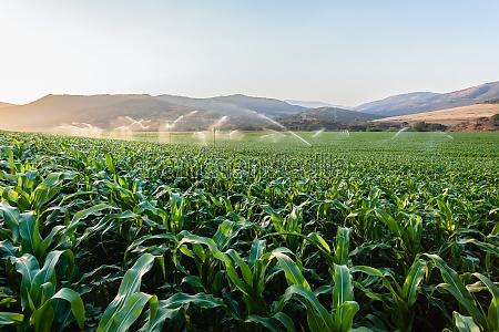 farming maize crop water sprinklers