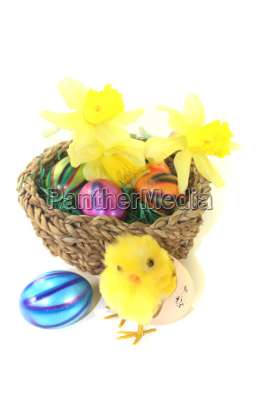 easter basket with chicks daffodils and