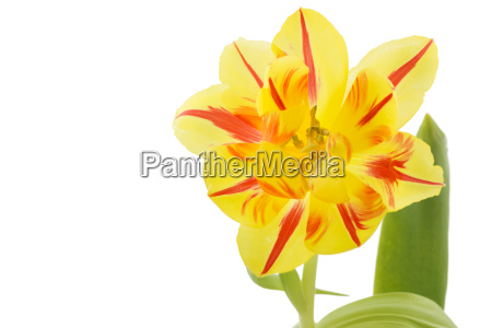 yellow tulip with red stripes
