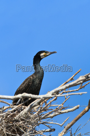 cormorant phalacrocorax carbo on nest