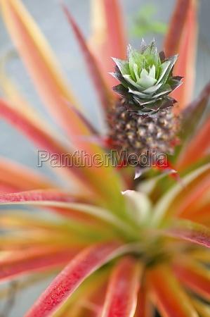 alone ananas ananas comosus baby pineapple