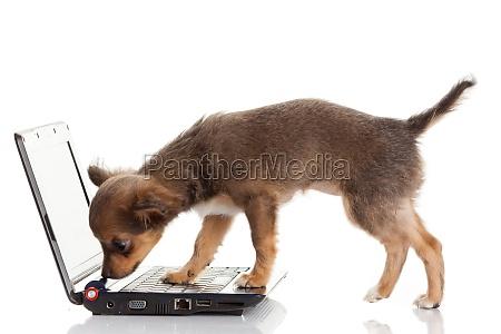 portrait of a cute chihuahua dog