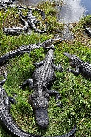 mississippi alligators in the everglades