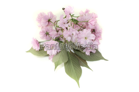a branch of japanese cherry blossoms