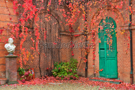 ivy with red leaves grow on