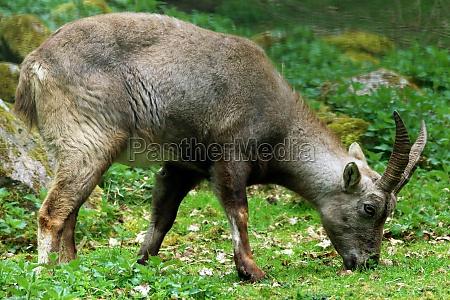 alpine capricorn capra ibex