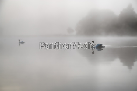 swans in the morning mist