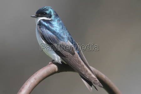 tree swallow on a perch