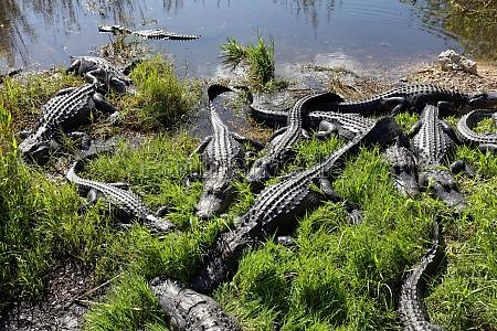 alligators in the everglades
