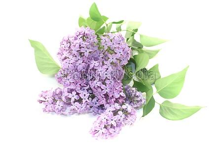 a bouquet of purple lilac blossoms