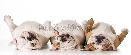 three sleeping dogs
