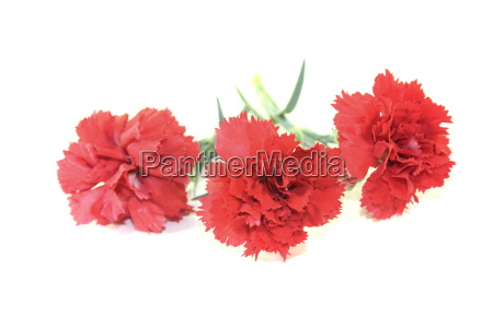 fresh red carnation flowers