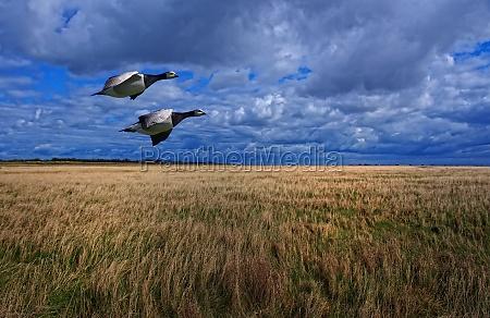 canada goose pair in flight