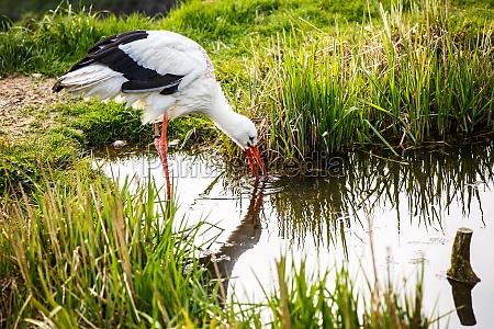white stork hunting