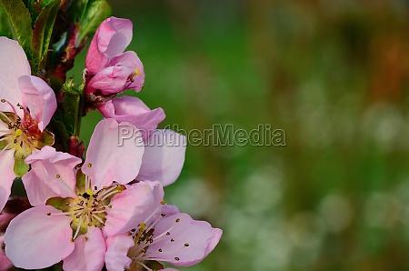pink blueten