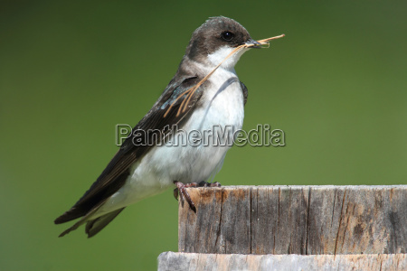 tree swallow on a nest box
