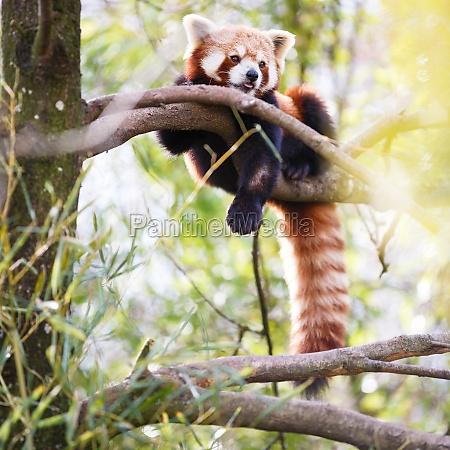 red panda ailurus fulgens lit shining