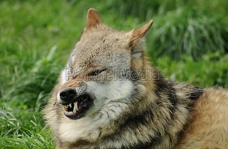 wolf fleps teeth