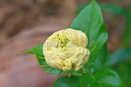 arabian jasmine jasminum sambac flower on