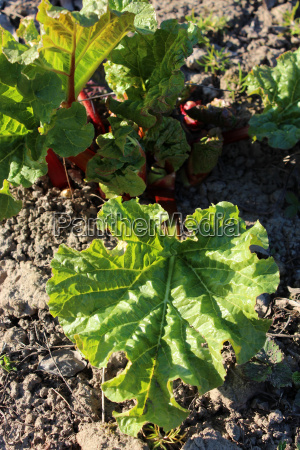 young sprouts of a rhubarb in