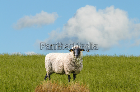 sheep on a meadow at the