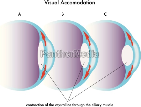 medical illustration of the visual accomodation