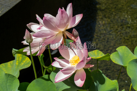 beautiful water lily blossom in a
