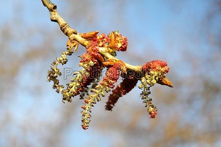 pollen of the alder causing allergy